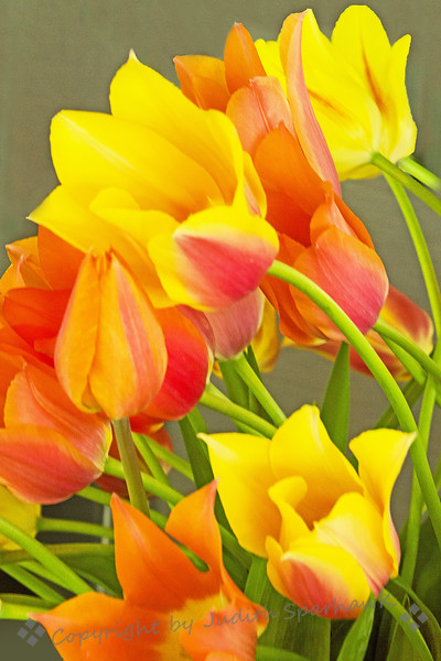 Spring Tulips ~