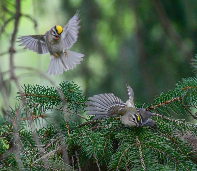 Golden crowned kinglets
