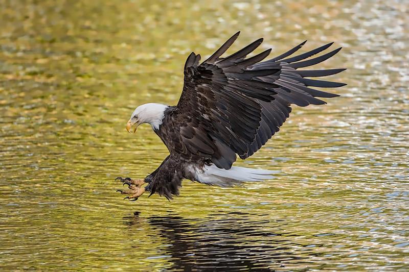 #725 Bald Eagle