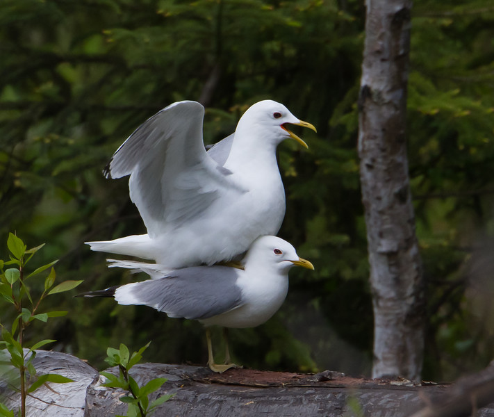 Mew Gulls Mating - Anchorage, AK, USA