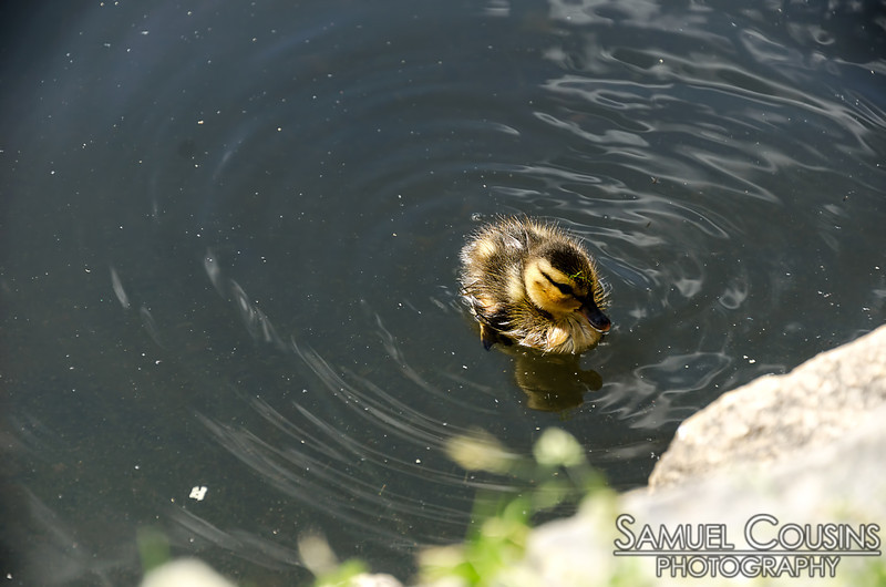Baby duck in the pond in Deering Oaks Park. It was maybe only a couple inches long.