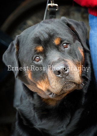 Rottie pics by Ernest Ross Photography