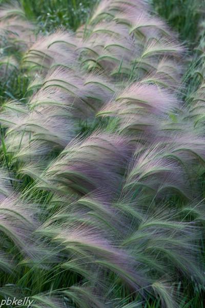 Foxtail Barley 061013-2.jpg