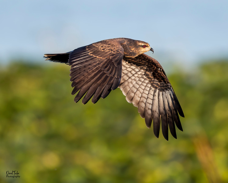 Everglades Snail Kite