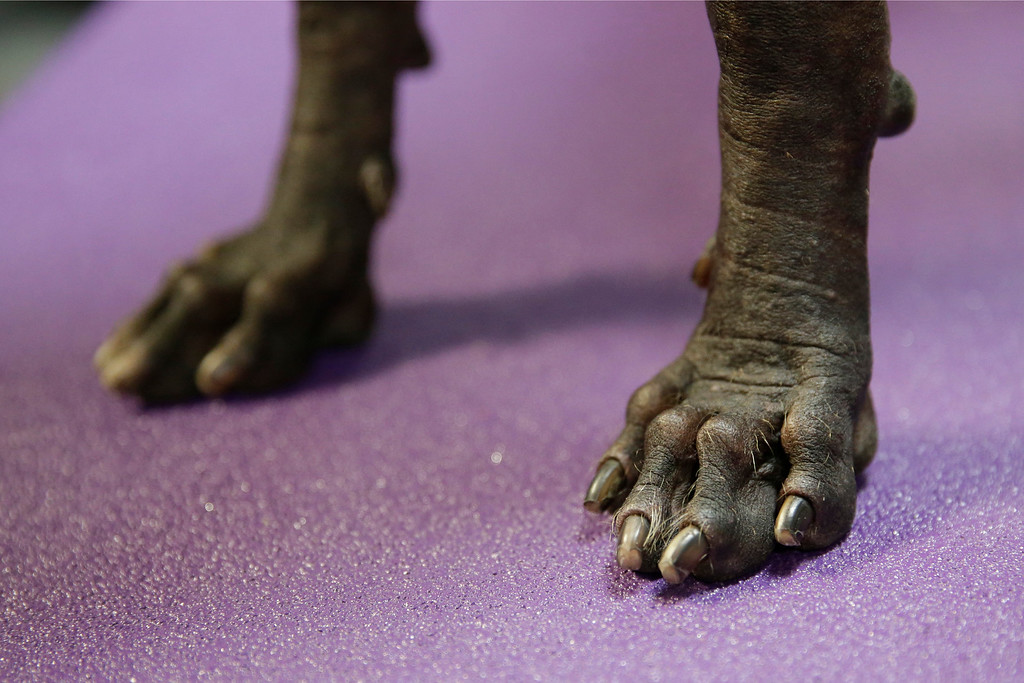 . Armani, a xoloitzcuintli, is stands in the benching area of the Westminster Kennel Club dog show Monday, Feb. 16, 2015, at Madison Square Garden in New York. (AP Photo/Mary Altaffer)