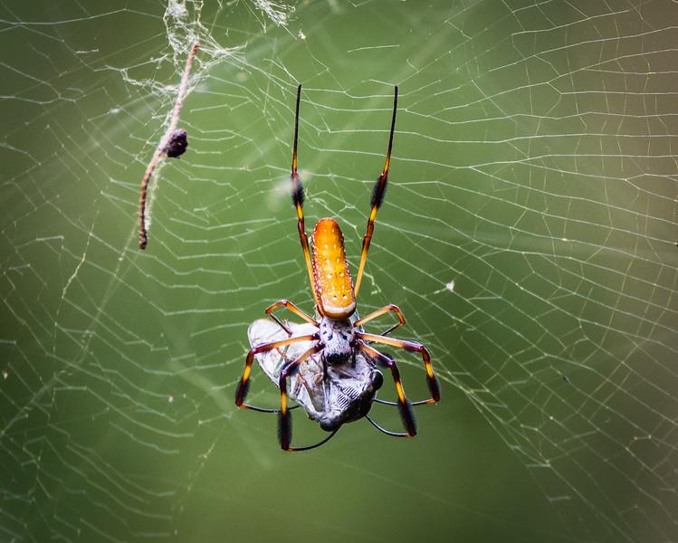 Spider Cicada 2 082717-1.jpg