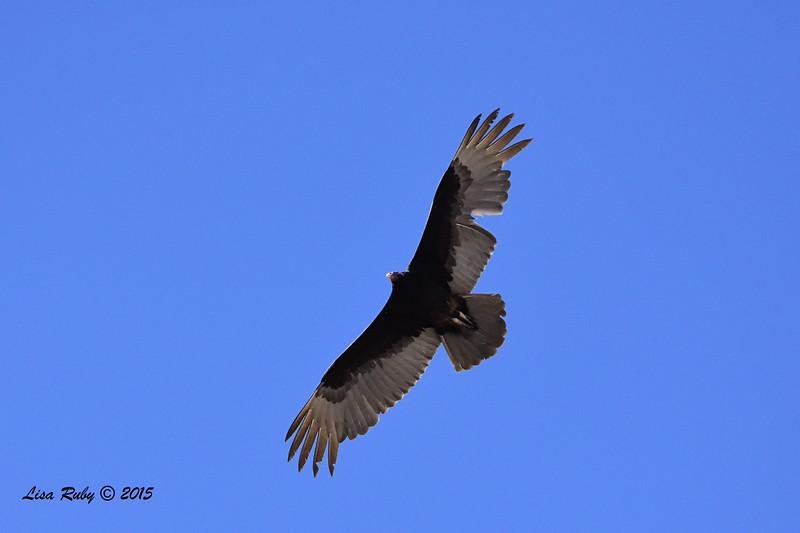 Turkey Vulture - 4/5/2015 - Marsh Trail, Agua Caliente
