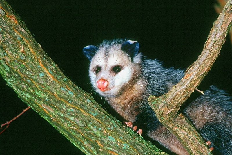 Virginia Opossum - Pennsylvania