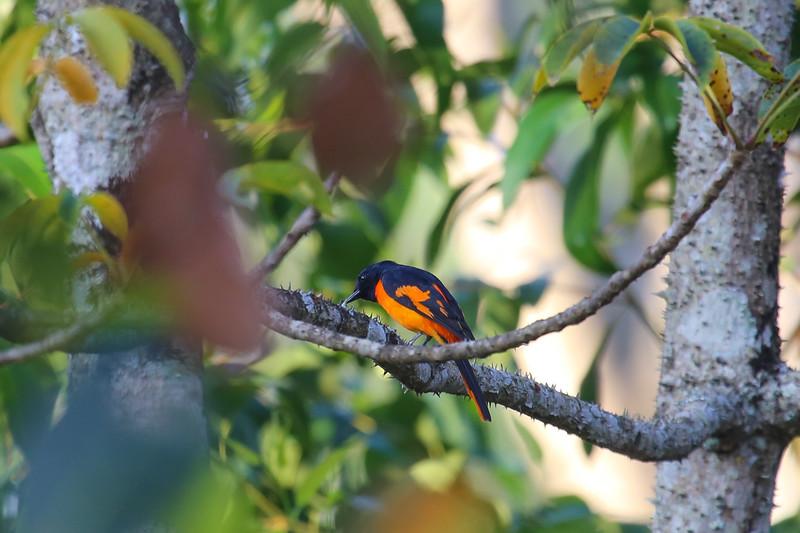 Scarlet Minivet (Pericrocotus speciosus)