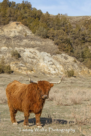 Cattle, Highland