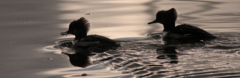 Female Hooded Mergansers, leading one with small fish capture