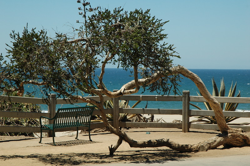 Tree in Santa Monica near ocean