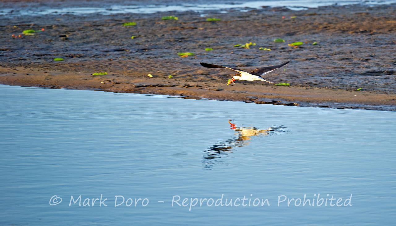 African Skimmer, Rufiji River, Selous, Tanzania