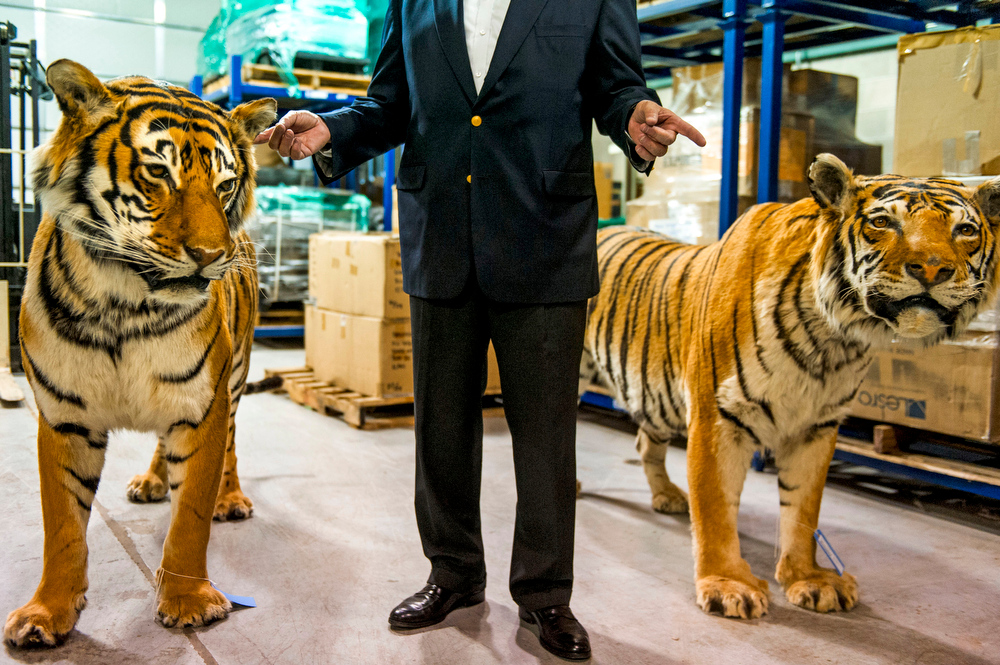 . DENVER, CO. - JUNE 23:  U.S. Trade Representative Michael Froman gestures while talking as he stands between two taxidermy tigers on a tour of the Federal Wildlife Reserve Repository at the Rocky Mountain Arsenal on Monday, June 23, 2014 in Denver, CO.  Mr. Froman\'s visit is to emphasize President Obama\'s trade agenda and part of the 13-country trade agreement that uses U.S. muscle to try and stop $3 billion in black market trading of wildlife parts ranging from bear gallbladders and paws to leopard skins and rhino horns.  (Photo By Kent Nishimura/The Denver Post)
