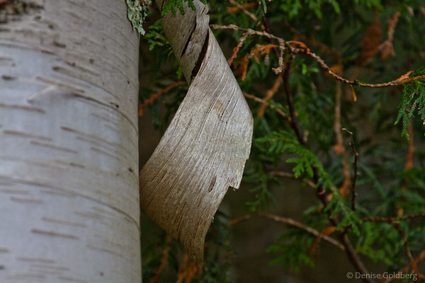 white birch, curling, peeling bark