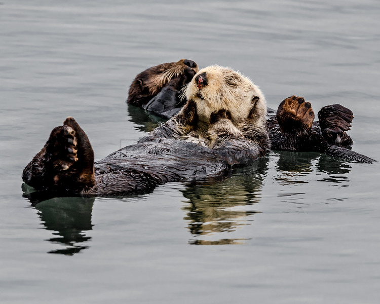 Sea Otters Snuggling