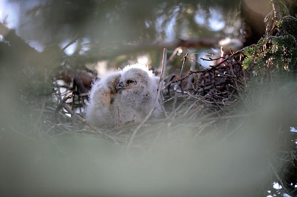 5 2011 May 10 Marsh Hawks & Owls