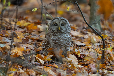 An Encounter With a Barred Owl