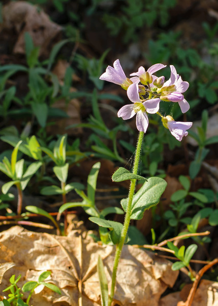 An Purple Cress (Cardamine douglassii) seen at St. Patrick's County Park, South Bend, IN