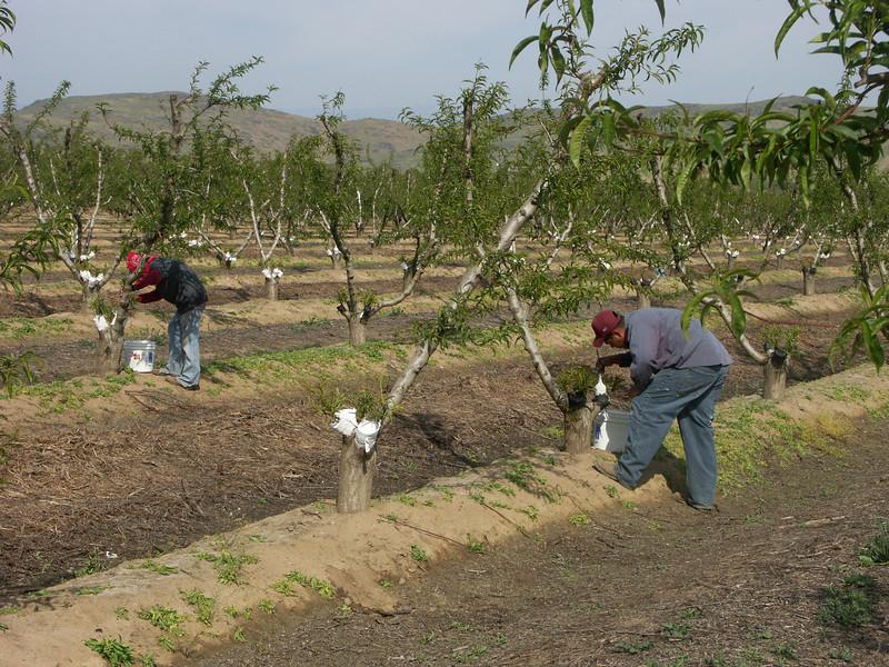 painting sierrra rich grafted field 3-30-09.jpg