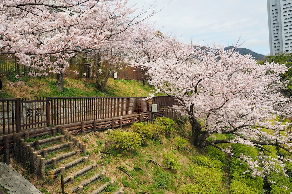 Cherry blossoms in full bloom in Kobe