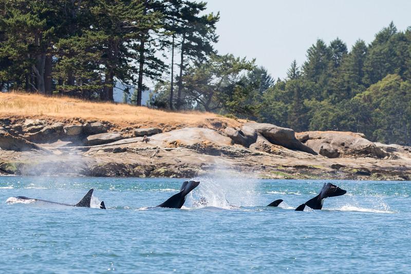 Orcas -  073115-031.jpg