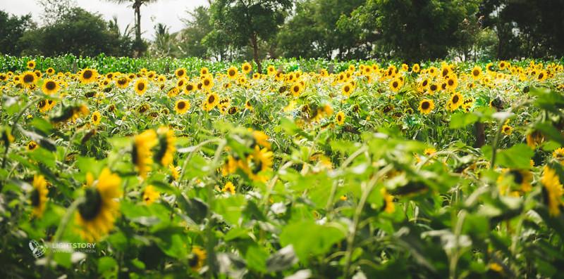 LightStory-CoupleShoot-Hassan-Bangalore-Hoysaleswara-Halebidu-Sunflowers-001.jpg