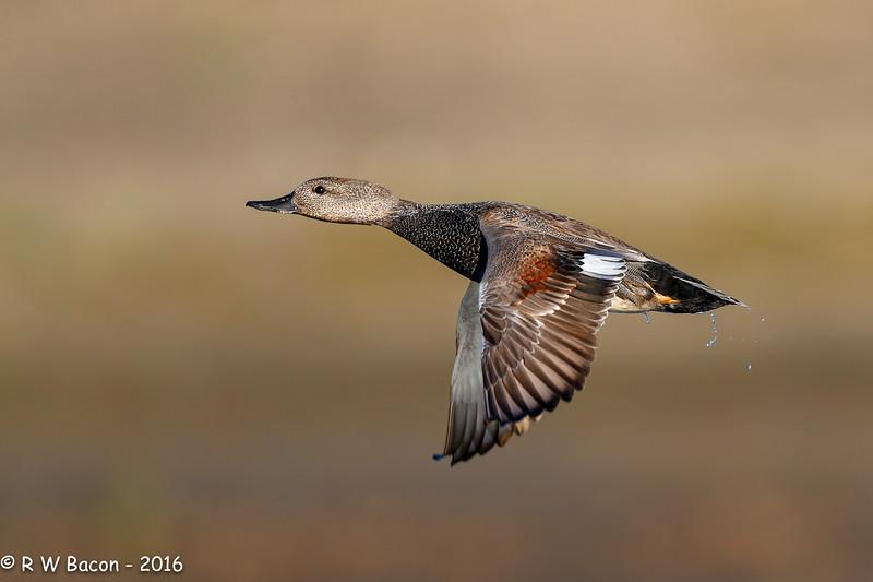 Gadwall in Flight.jpg