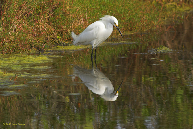 A Snowy Egret patiently waits for lunch at Merritt Island NWR
