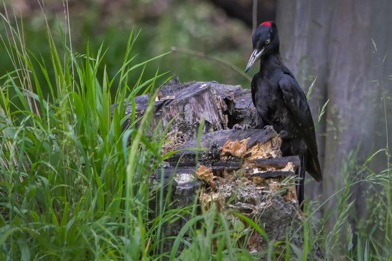 Black Woodpecker (Schwartzspecht)