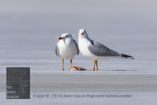Ice Fishing Gulls