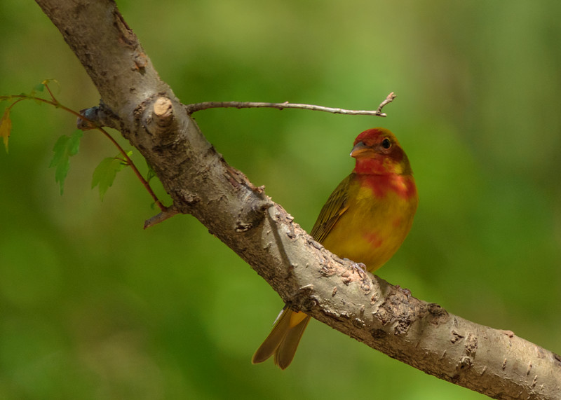 a 1st spring Summer Tanager at Eagle Creek Park, Indianapolis, IN