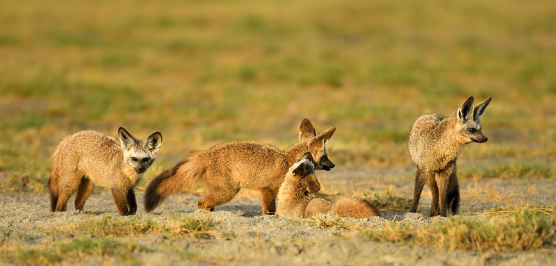 Bat-eared-foxes-family-fun-time-Ndutu-Tanzania.jpg