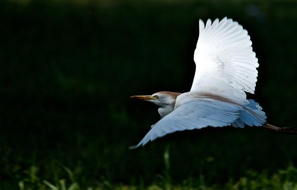 Egrets, Herons, Ibis