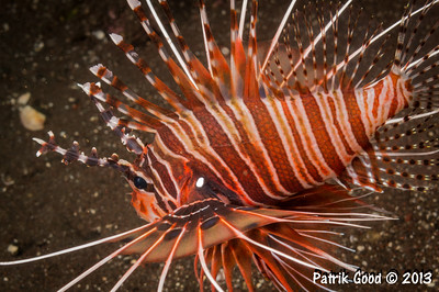 Various Lionfishes