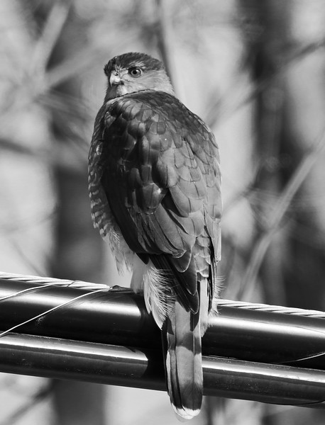 coopers hawk black and white.jpg