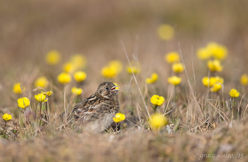 Lapland Longspur in Tundra Flowers