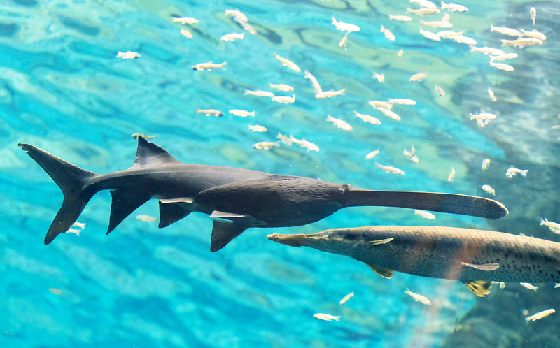 Next, we walk over to the aquarium in Milwaukee's Discovery World.  This is a Paddlefish.
