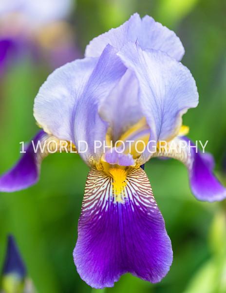 201906062019_6 Neighborhood Irises306--169.jpg