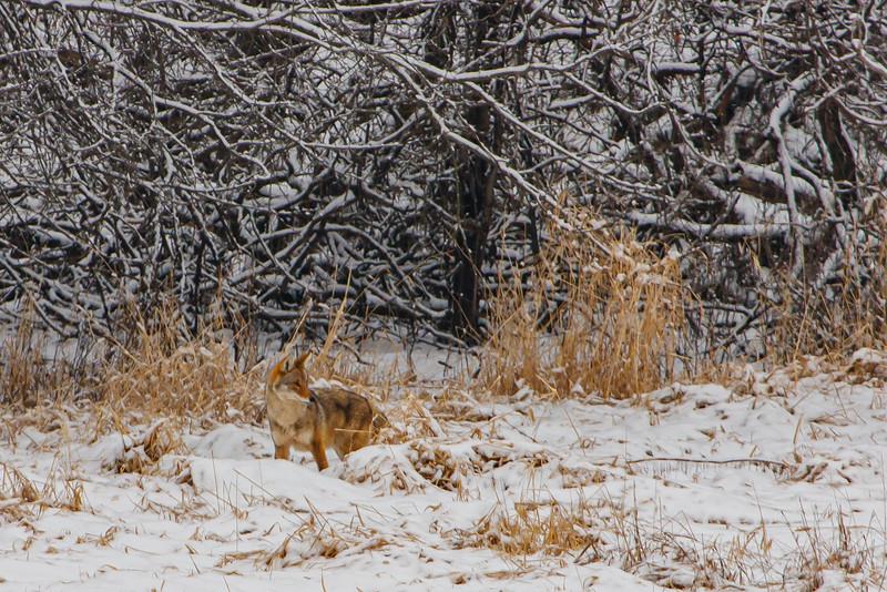 Coyote in Natural Camo Coat