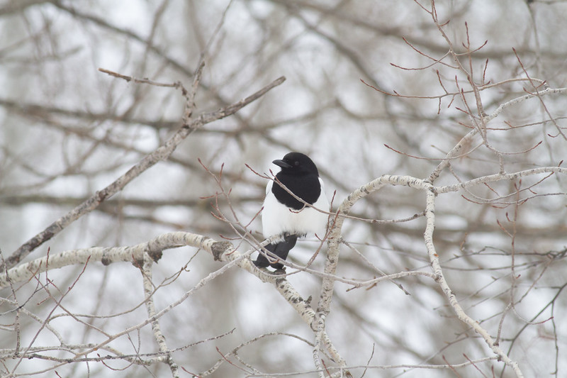 Black-billed Magpie at road-killed deer CR7 Sax-Zim Bog MNIMG_0993.jpg