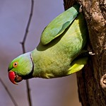 Rose Ringed Parakeet coming out of a tree hole nest in Ranthambore