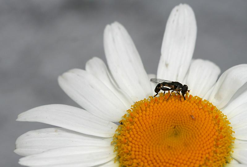 7255 Fly on Daisy.jpg