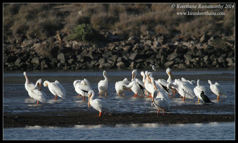 Flock of American White Pelicans, Robb Field, San Diego River, San Diego County, California, February 2014