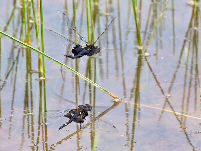 Pair ovipositing, Summit Bridge Ponds