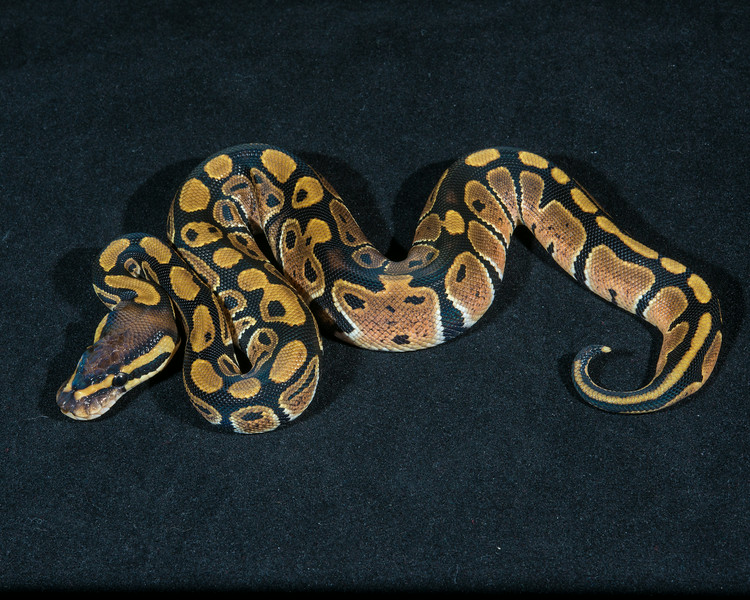 Het Albino F0514, sold, Scott