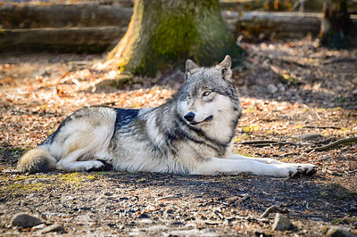 Lakota Wolf Preserve/Columbia/NJ - Feb., 2017