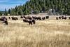 Lamar Valley, Yellowstone-Swan9IMG_1132