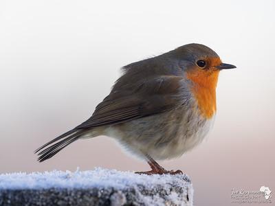 Iced Robin