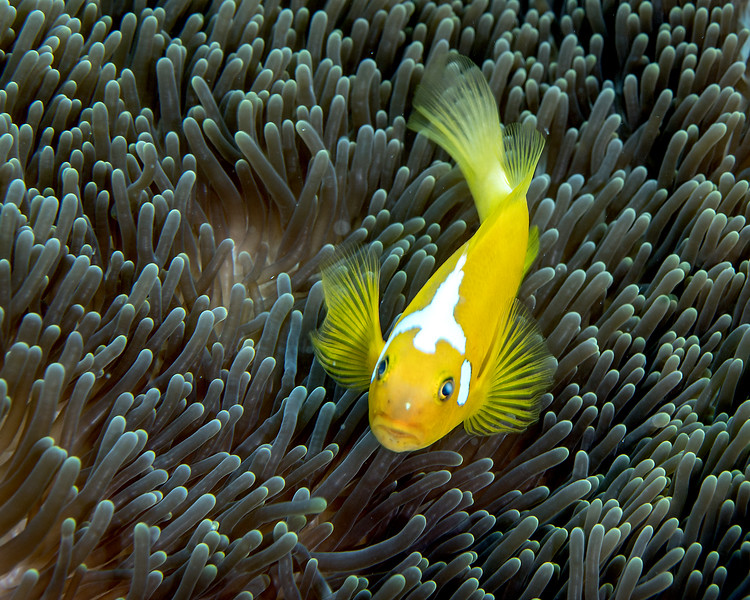 Whitebonnet Anemone fish